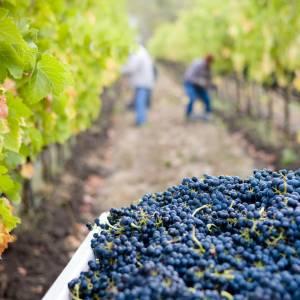 vignerons ramassent des raisins pour en faire du vin